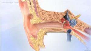 Ear Cross Section